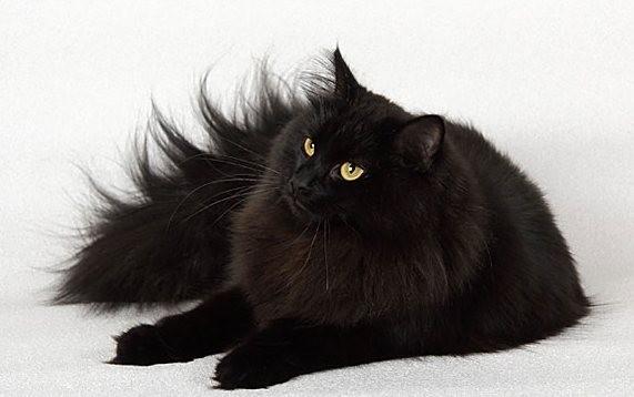 Черный сибирский кот - большая редкость