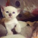 Открыто резервирование на котят тонкинской кошки